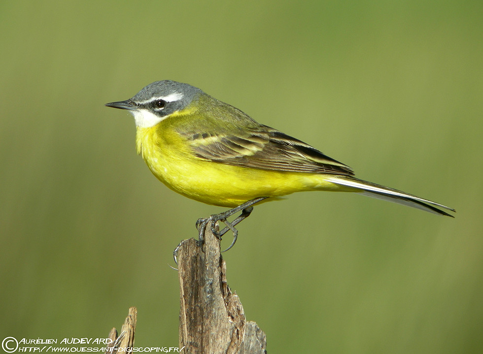 Ouessant digiscoping bergeronnette printani 232 re spanish wagtail