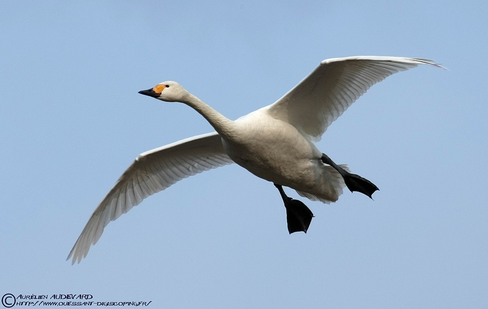 ouessant digiscoping cygne de bewick bewick 39 s swan cygnus columbianus. Black Bedroom Furniture Sets. Home Design Ideas
