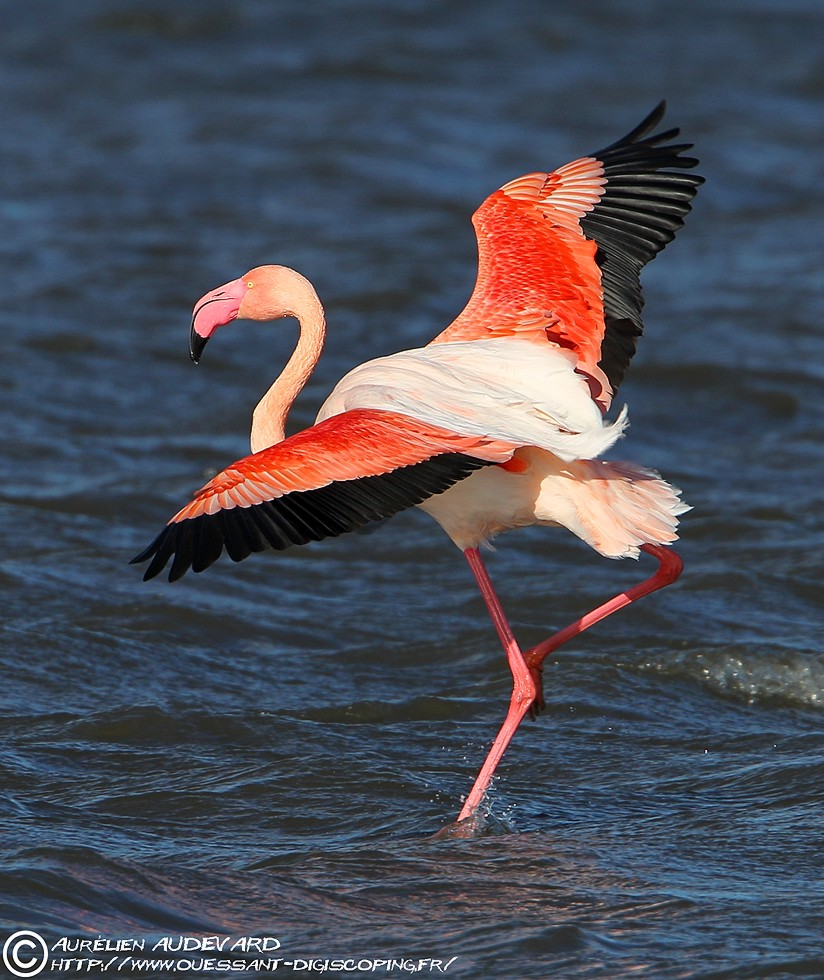ouessant digiscoping flamant rose greater flamingo phoenicopterus roseus. Black Bedroom Furniture Sets. Home Design Ideas