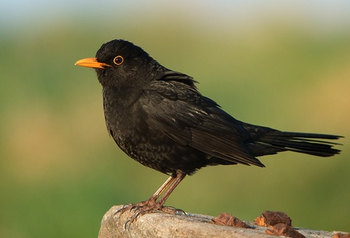 Oiseau Noir Bec Orange Of Ouessant Digiscoping Merle Noir Blackbird Turdus Merula