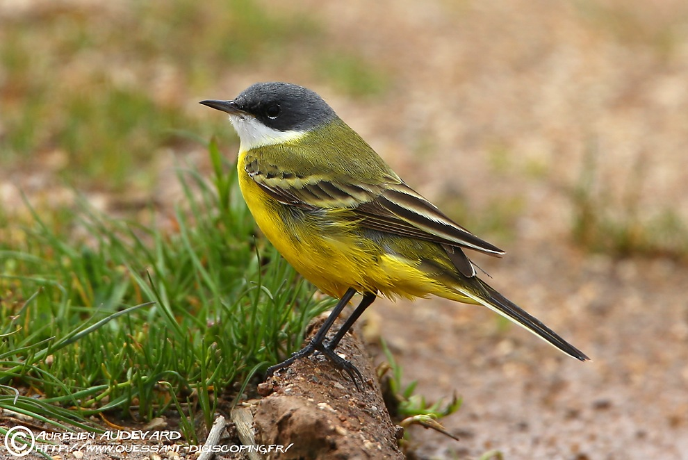 Ouessant digiscoping bergeronnette d italie ashy headed wagtail
