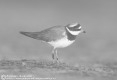 Grand Gravelot - Common Ringed Plover - Charadrius hiaticula -