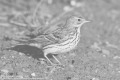 Pipit farlouse  - Meadow Pipit - Anthus pratensis